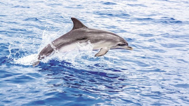 wild dolphin in St Lucia